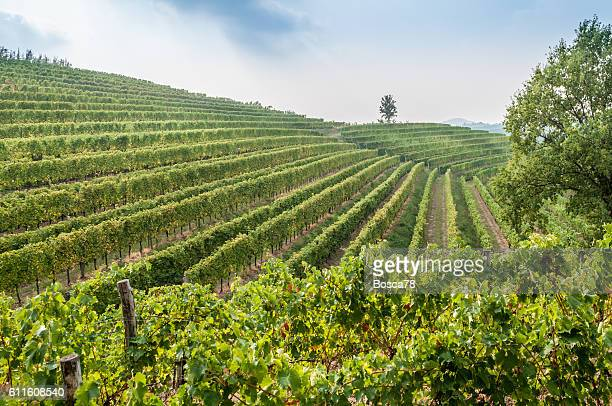 Nice vineyard landscape at north of Italy