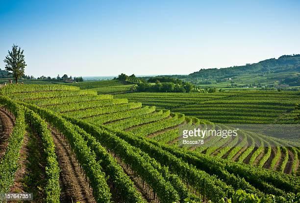 ニースのブドウ園の風景、イタリア北部