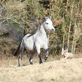 Nice welsh mountain pony running on spring pasturage