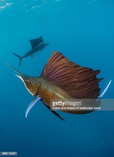Nicely spread flipper of Atlantic Sailfish