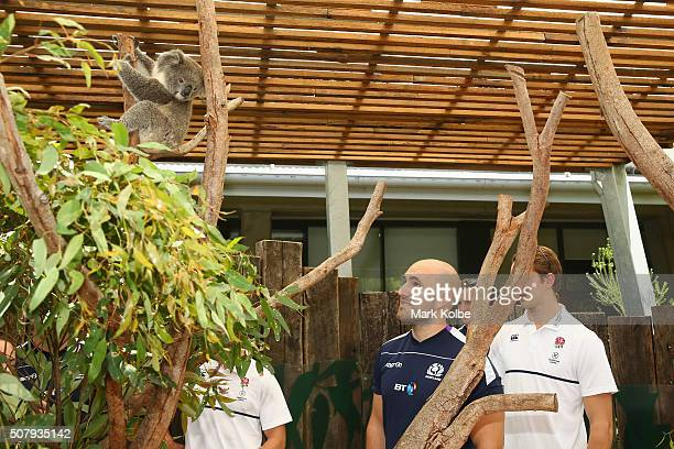Nick Lumley of the Scotland team management meets a koala during a Rugby Sevens media opportunity at Taronga Zoo on February 2 2016 in Sydney...