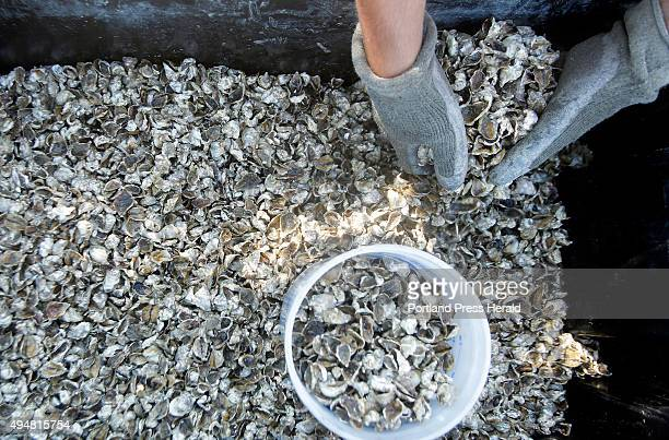 Nick Ports scoops up oyster seeds aboard a raft off the coast of Yarmouth operated by Basket Island Oyster Co on September 17 2015 Increased...