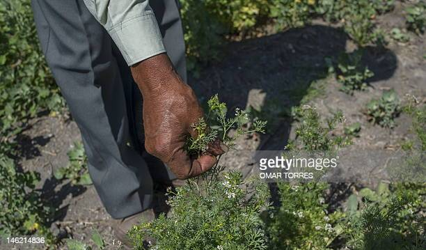 Nicolas Velasco shows a plant of coriander at his 'chinampa' in Xochimilco Mexico City on May 30 2012 The 'chinampas' are artificial islands that...