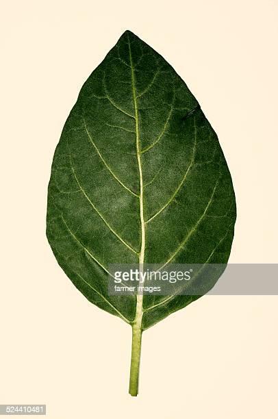 Nicotiana rustica 'Punche'