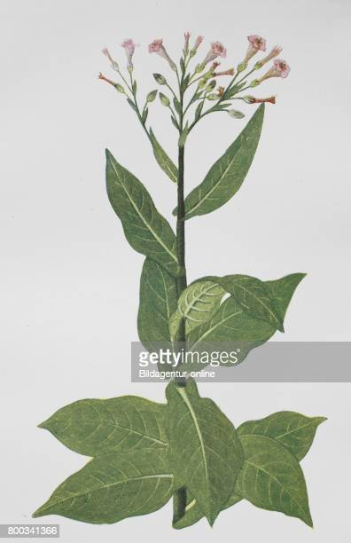 Nicotiana tabacum or cultivated tobacco historical illustration 1880