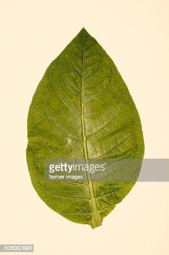 Nicotiana tabacum 'Red Russian'