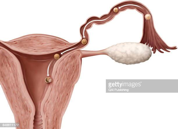 Nidation Nidation is the implantation of a fertilized egg in the endometrium six or seven days after fertilization The cells of its outer layer...