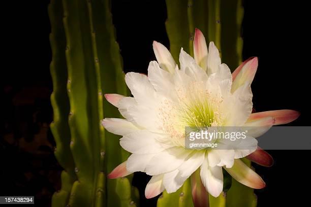 夜の開花サボテン