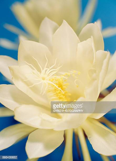 Night blooming Cereus, close up, blue background