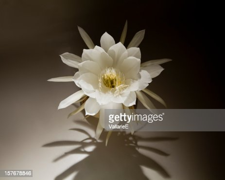 Night Blooming Cereus with Dramatic Shadow