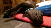 Which way round can this sleeping Labrador puppy turn
