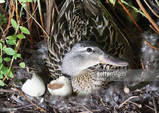 Night Shot Mother Duck Guards Her Nest