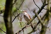 Nightingale, Luscinia megarhynchos, single bird singing in tree, Lincolnshire, April 2013