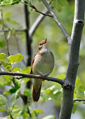A nightingale is singing out loud. It is perched in a tree on a branch surrounded by young, spring leaves. The bird is looking at the camera. There is enough space around the bird in a vertical framin