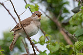 Nightingale (Luscinia megarhynchos) singing in a thorny thicket in Pulborough Brooks nature reserve, April
