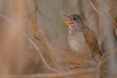 Nightingale singing on the last sun rays of the evening.