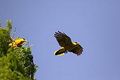 nightingale is flying beautifully