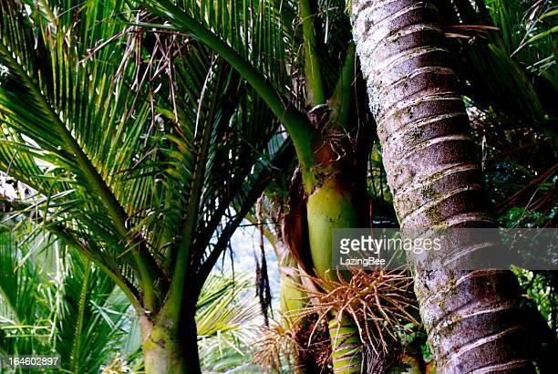 Nikau (Rhopalostylis sapida) Palm, New Zealand