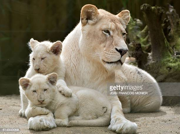 Nikita a 9yearold Lion is pictured next to her 3 white lion cubs threemonths old at the zoo in La Fleche northwestern France on march 8 2016 / AFP /...