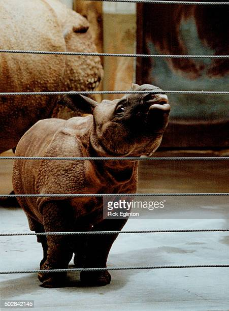 Nikki the baby Great Indian rhinoceros checks out her world at the Metro Zoo The product of rhino romance between mom Indira and dad Patrick the...