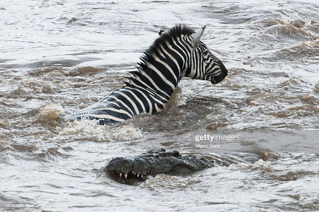 Nile crocodile attacking zebra in Mara River : Stock Photo