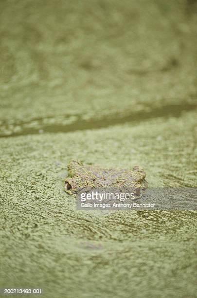 Nile crocodile (Crocodylus niloticus) emerging in algae covered water