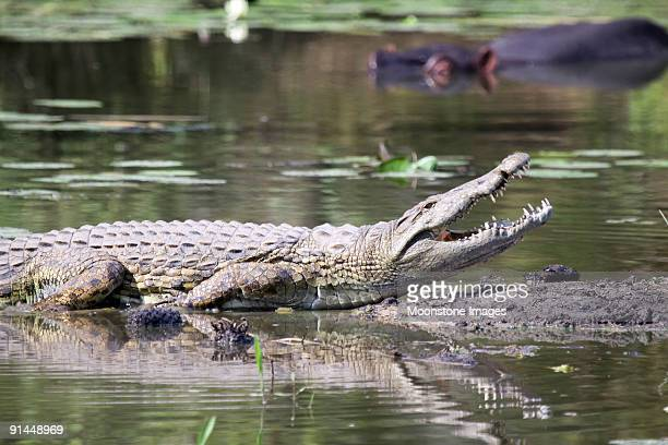 Nile Crocodile in Kruger Park, South Africa