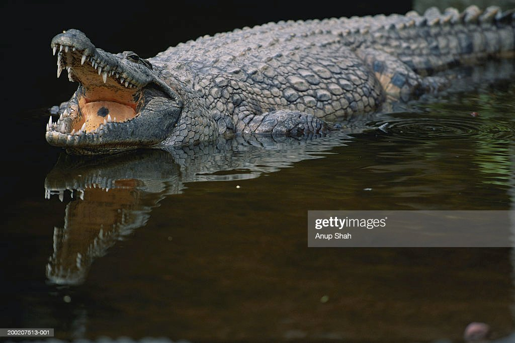 Nile crocodile (Crocodylus niloticus) in water