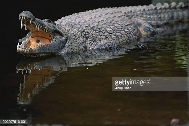 Nile crocodile (Crocodylus niloticus) in water
