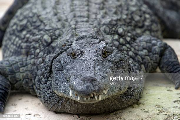 A Nile crocodile is seen on March 26 2014 at the park 'La planete des crocodiles' in Civaux near the French western city of Poitiers AFP PHOTO /...