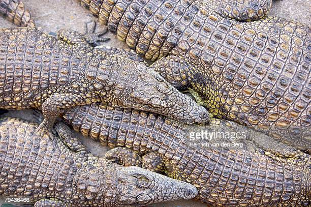 Nile Crocodile juveniles sunning themselves out of the water. St Lucia, KwaZulu-Natal Province, South Africa