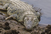 Nile crocodile (Crocodilus niloticus), Masai Mara, Kenya, East Africa, Africa