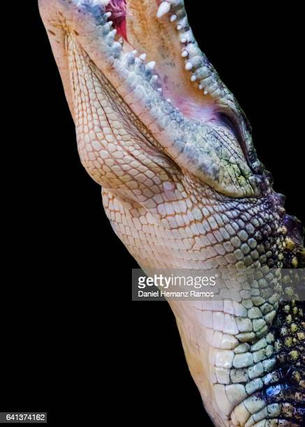 Nile crocodile neck close up side view with open mouth with black background . Crocodylus niloticus