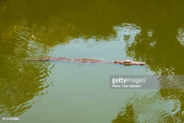 Nile crocodile of Madagascar