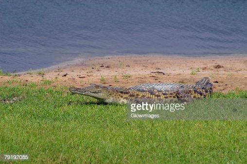 Nile crocodile (Crocodylus niloticus) resting on the river bank, Chobe National Park, Botswana : Stock Photo