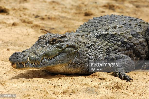 Nile crocodile Sacred Crocodiles of Bazoule near Ouagadougou Burkina Faso