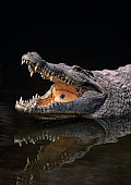 Nile crocodile (Crocodylus niliticus) standing in water with open jaws, Kenya