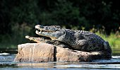 Nile crocodile. Two crocodiles , having opened from a heat to graze, sit on one big stone in the middle of sources of Nile. Nile crocodile. Two crocodiles , having opened from a heat to graze, sit on