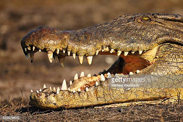 Nile crocodile (Crocodylus niloticus) with open mouth besides the Chobe River