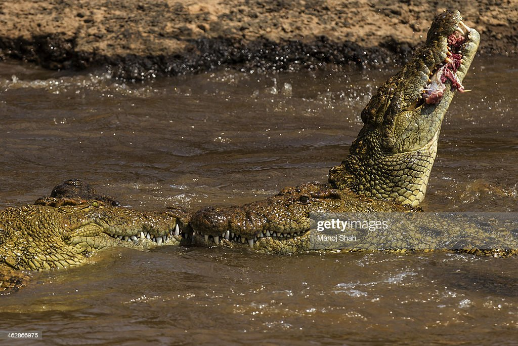 Nile crocodiles feasting on a wildebeest