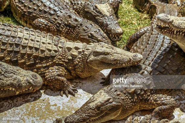 Nile crocodiles of Madagascar
