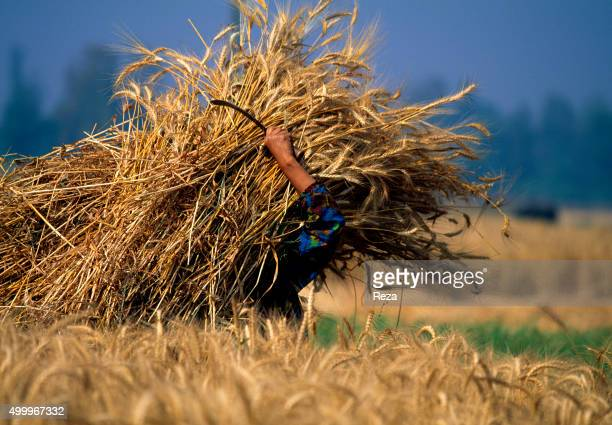 1996 Nile Delta Egypt An Egyptian peasant harvests a field of grain with a sickle The traditional growing of grains is a millennial one in Egypt and...