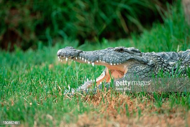 Nilotic crocodile, Gauteng Province, South_Africa / (Crocodylus niloticus)