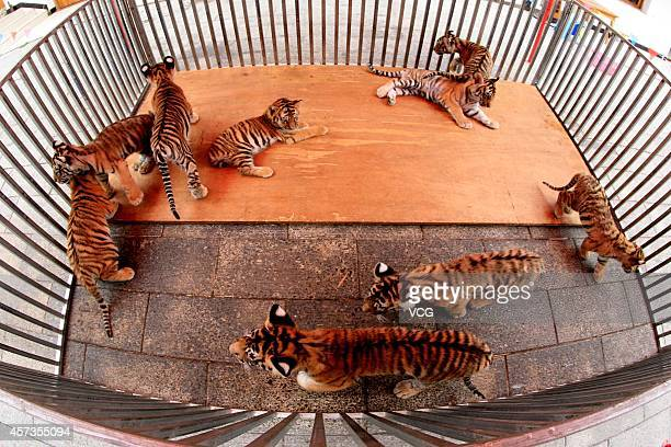 Nine baby Siberian tigers are seen at Mount Huangshan Tiger Park on October 16 2014 in Huangshan Anhui province of China Three Siberian female tigers...