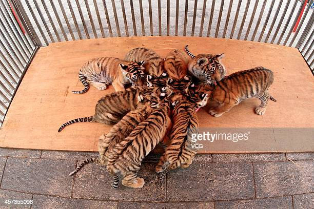 Nine baby Siberian tigers play together at Mount Huangshan Tiger Park on October 16 2014 in Huangshan Anhui province of China Three Siberian female...