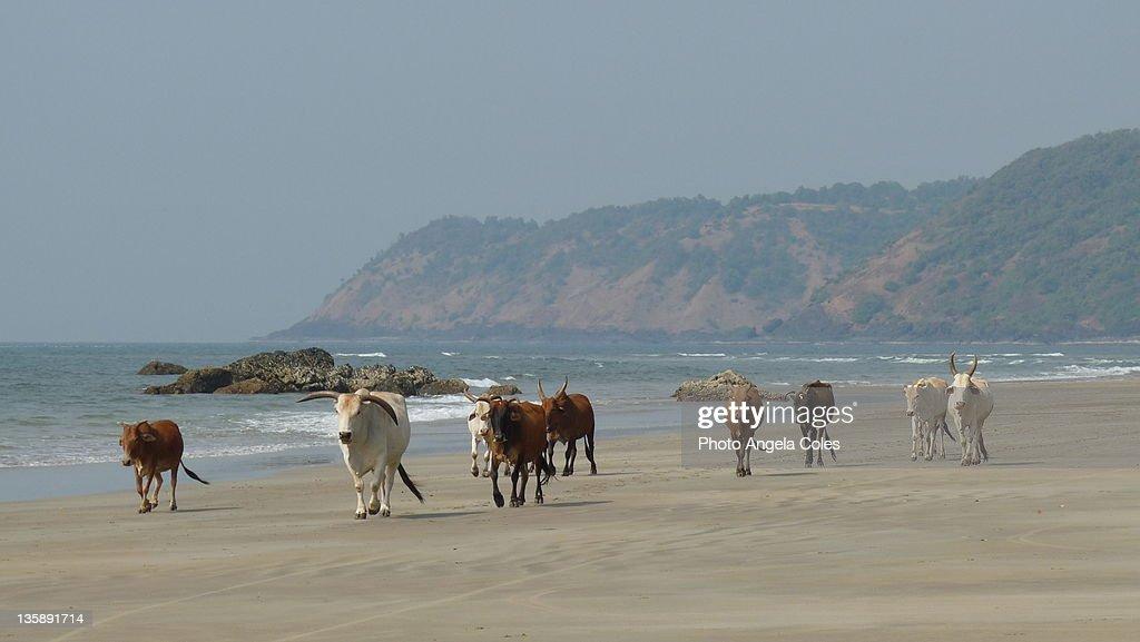 Nine cows stroll along beach