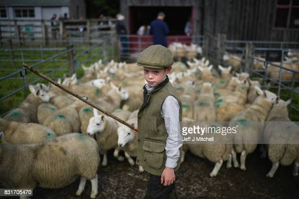 Nine year old Rory Scott from Bonar Bridge herds sheep as farmers gather at Lairg auction for the great sale of lambs on August 15 2017 in Lairg...