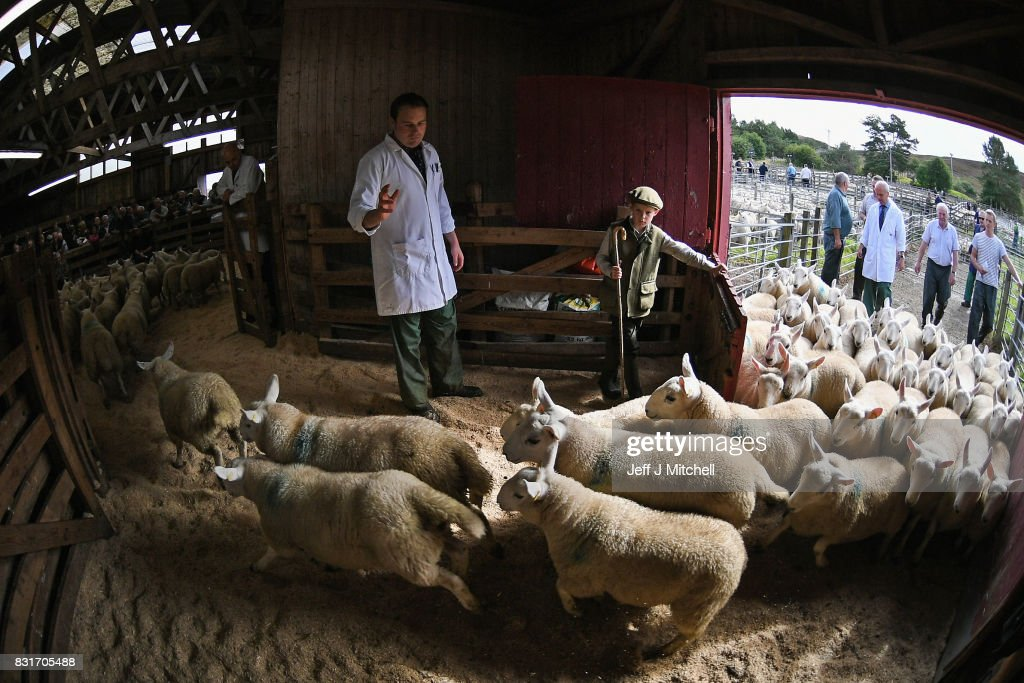 Nine year old Rory Scott from Bonar Bridge herds sheep as farmers gather at Lairg auction for the great sale of lambs on August 15, 2017 in Lairg, Scotland. Lairg market hosts the annual lamb sale, which is the biggest one day livestock market in Europe, when some twenty thousand sheep from all over the north of Scotland are bought and sold.
