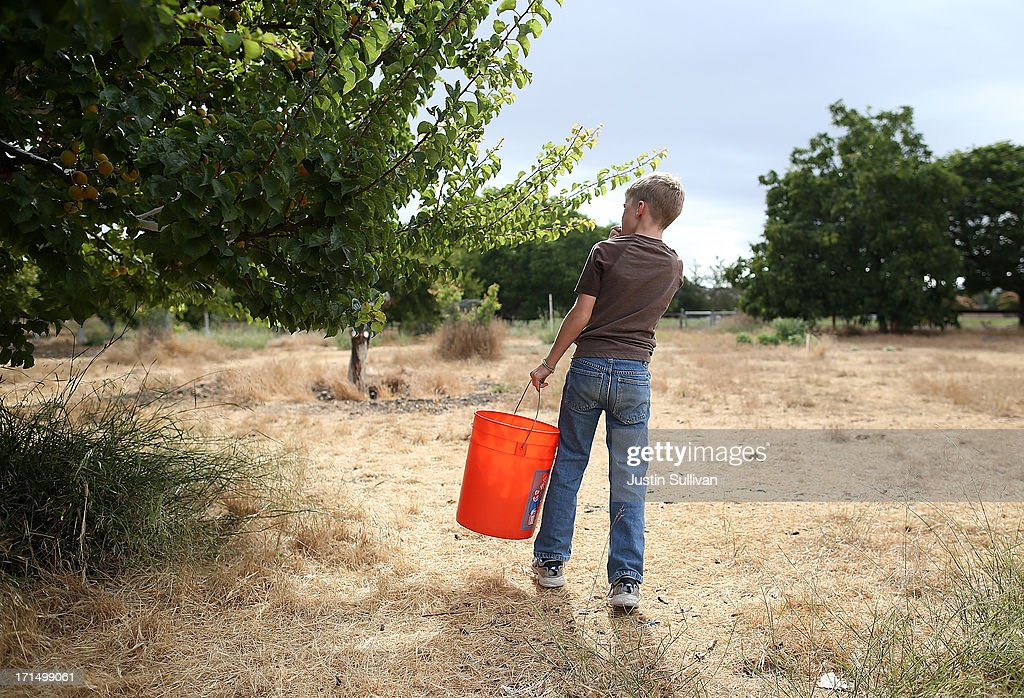 Nine year-old Village Harvest volunteer Nick Hays prepares to pick apricots during the harvest of apricot trees at Guadalupe Historic Orchard on June 25, 2013 in San Jose, California. Village Harvest and other San Francisco Bay Area nonprofit groups are volunteering to pick excessive fruit from homeowners' yards and other plots of land to donate to food banks, soup kitchens and organizations that help the needy. Urban harvesting, or gleaning, aims to collect fruit that normally goes to waste after it goes unpicked and falls to the ground. Village Harvest has donated thousands of pounds of fruit to local organizations.