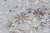 Nine-armed Sea Stars on a Gulf of Mexico beach